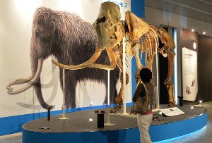 Americans say no to bringing back woolly mammoth